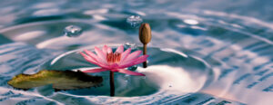 Lily in water